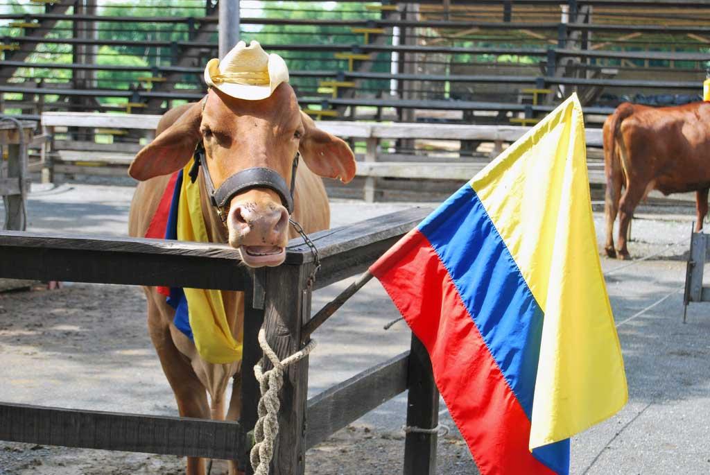 Razas de ganado populares en Colombia