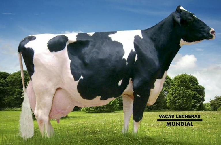 vaca de raza holstein historia