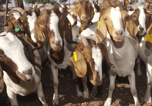 Consejos para la crianza de cabras