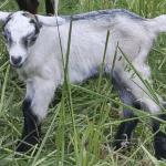 cabra recien nacida