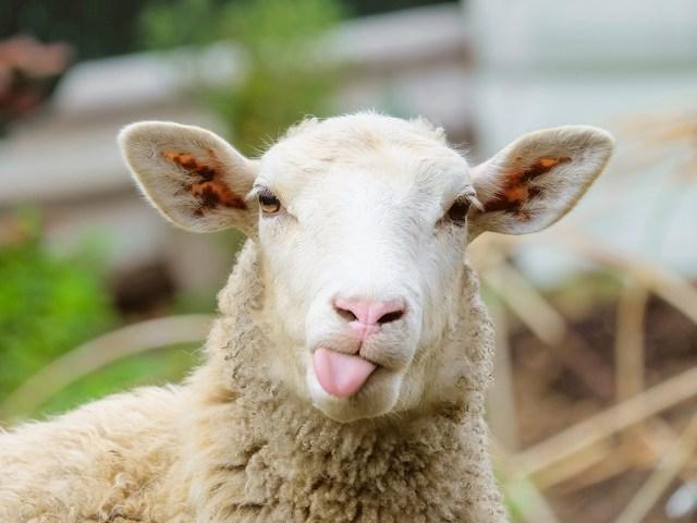 como cuidar ovejas