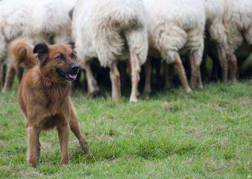 perro pastor de ovejas