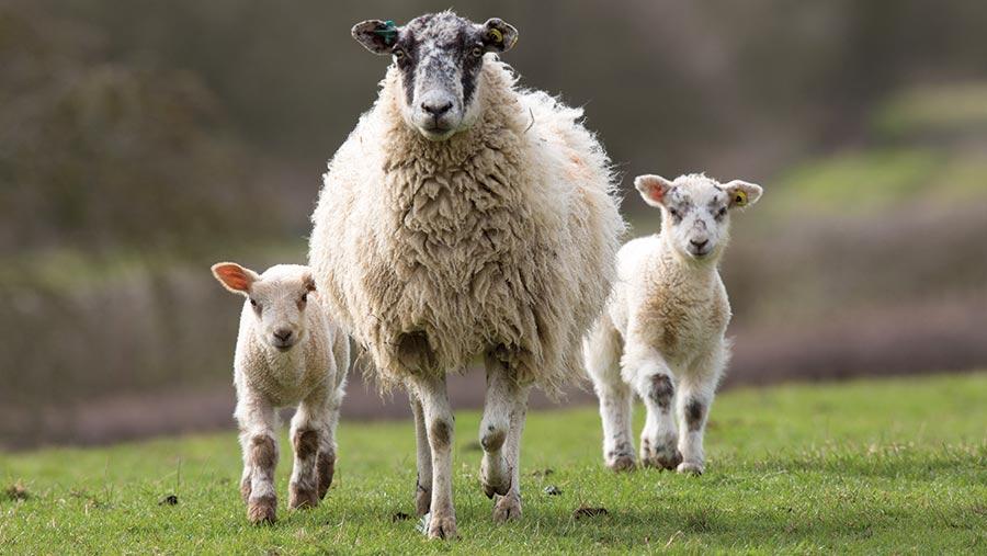 tips y consejos para cuidar ovejas