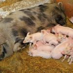 al cuanto tiempo cria o pare un cerdo cerda marrana
