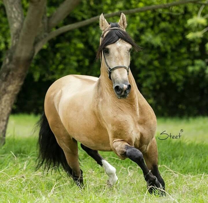 foto de caballo de paso fino