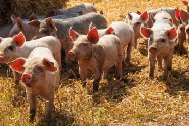 Tiempo o periodo de gestación del cerdo hembra