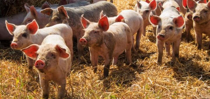 parto de cerdos con problemas