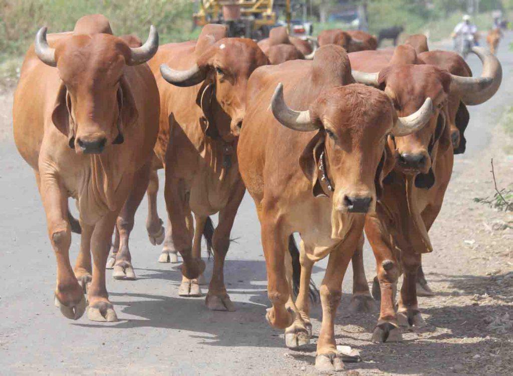 razas de ganado en la india