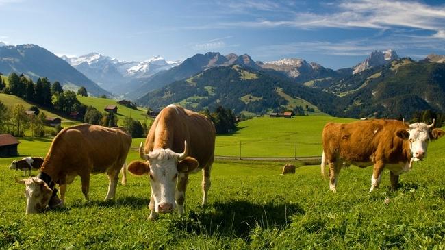 vacas simmentales