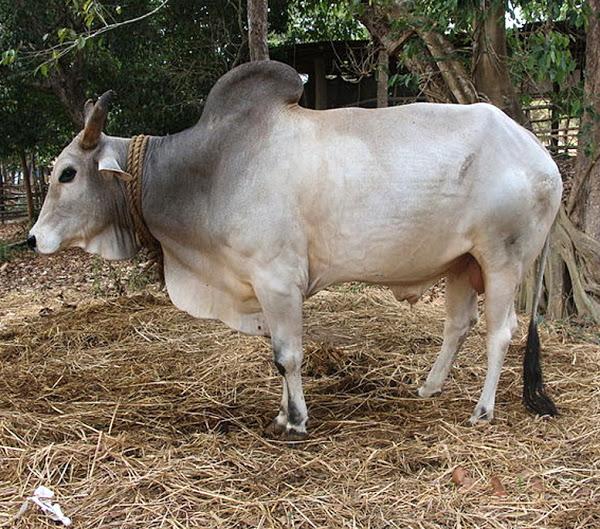 Ganado Gangatiri