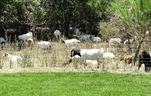 como se cria una cabra