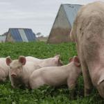guia para criar cerdos y ganar mucho dinero