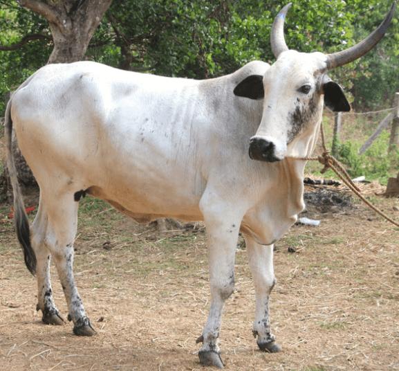 raza de ganado deoni