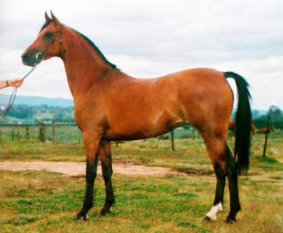 caballo árabe de australia