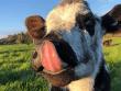 alimentar terneros con leche una vez al dia