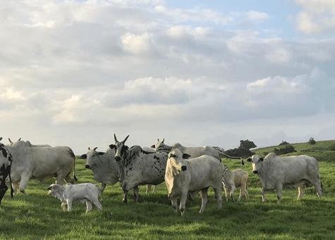 como influye el clima en la produccion del ganado bovino