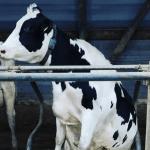 preparación de vacas al parir