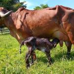 signos de parto en una vaca vaquilla o novilla
