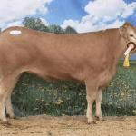 Blonde d'Aquitaine ganado raza toro