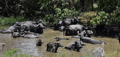 fotos de búfalos