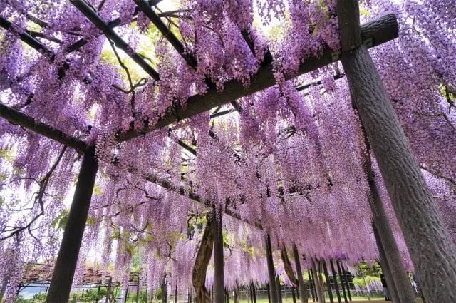 wisteria Shirai Omachi Fuji Park