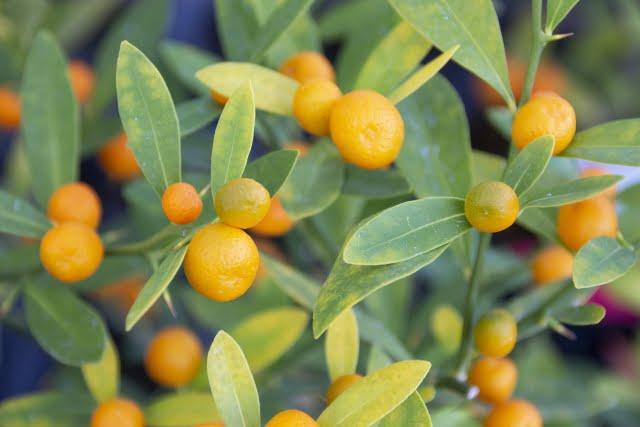 Kinkan  kumquat japanese fruit