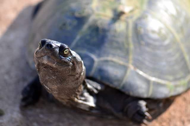 tortugas domesticas cuidados,características, curiosidades
