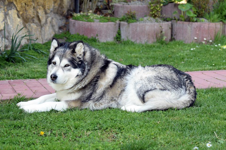 Perros Alaskan Malamute
