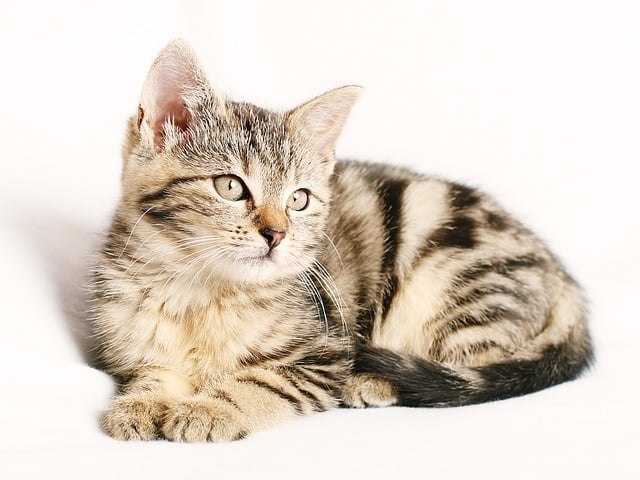 como cuidar a un gato