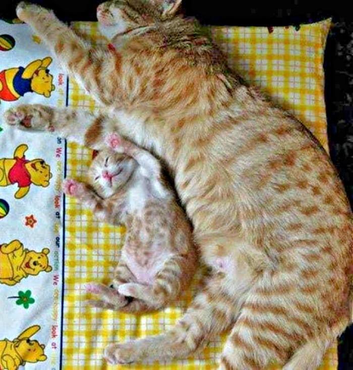 gatos dormidos-