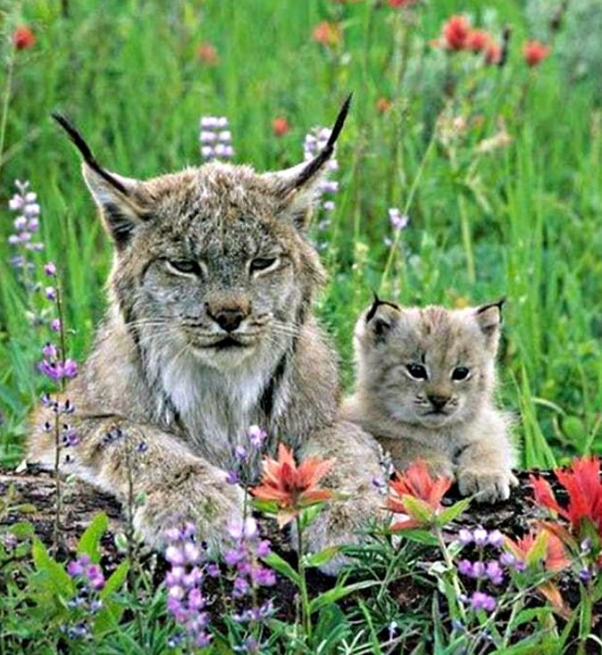 gatos orejas