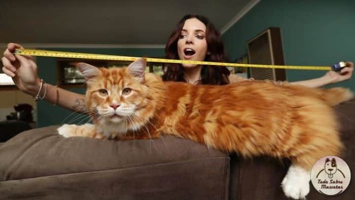 La pareja está orgullosa de tener el gato más largo del mundo