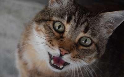 Porqué mi gato maulla tanto