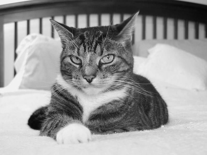 Por qué mi gato se orina en mi cama