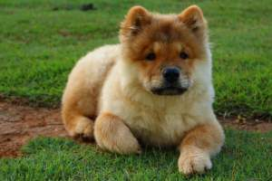 Perros chow chow