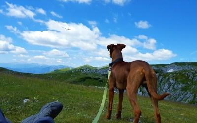 perros pinscher alemán