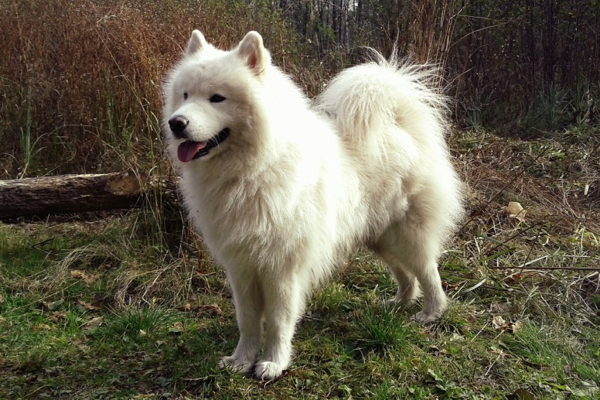 perros samoyedo