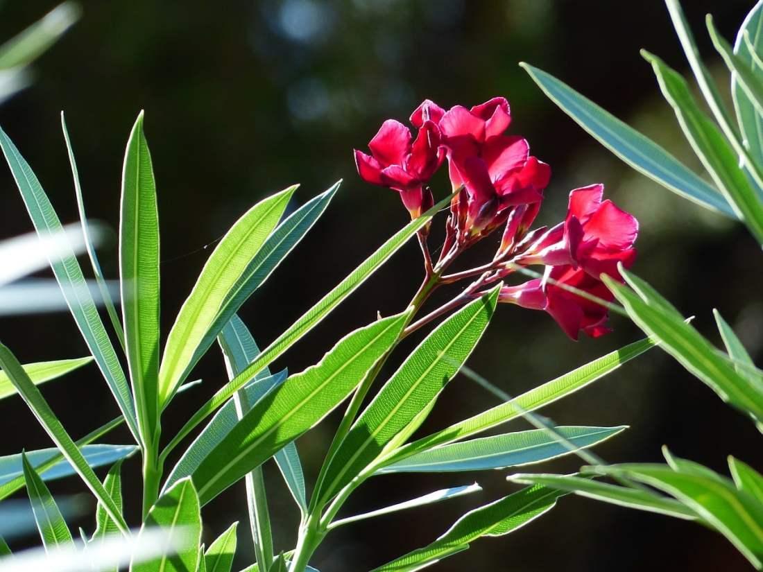 Oleander plantas toxicas para perros