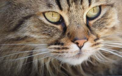 Para qué sirven los bigotes de los gatos