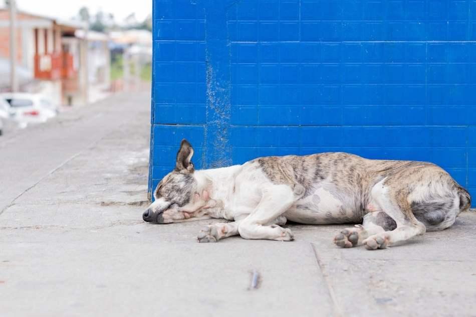 Síntomas de un perro con parásitos
