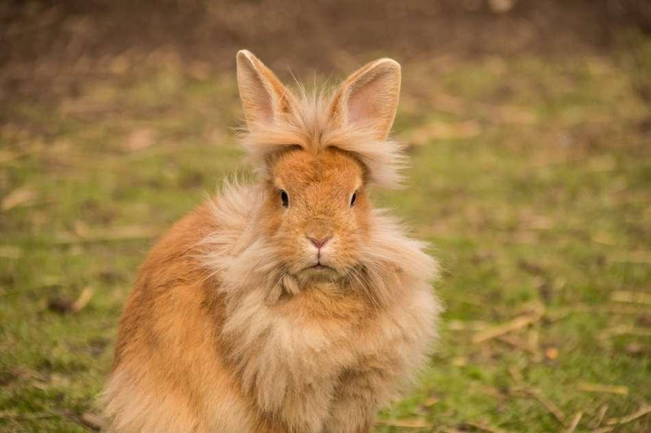 Conejo cabeza de león