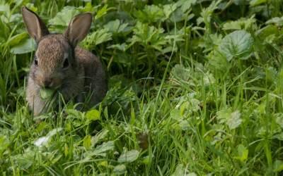Los conejos pueden comer apio