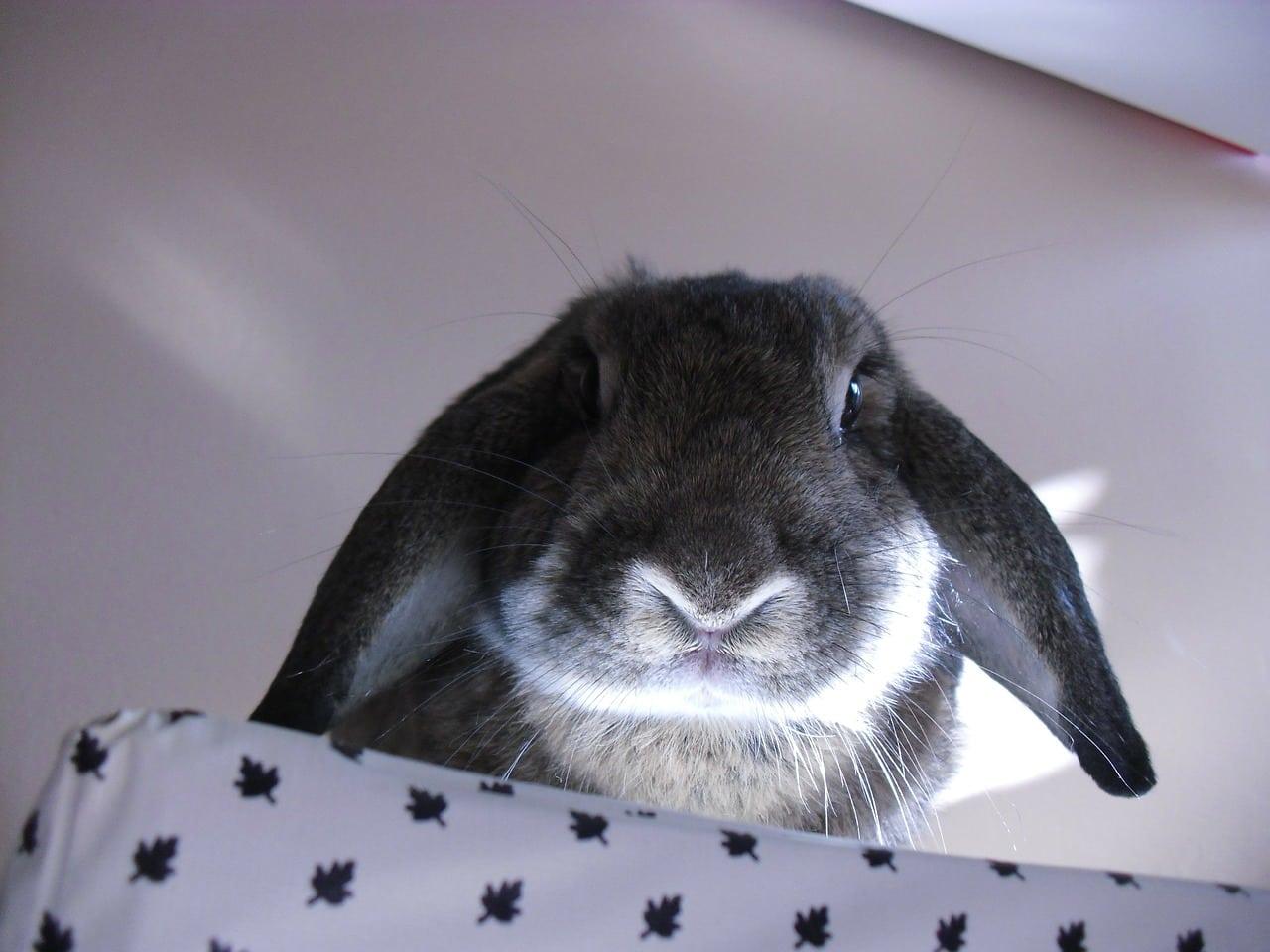 Nombres para conejos grises