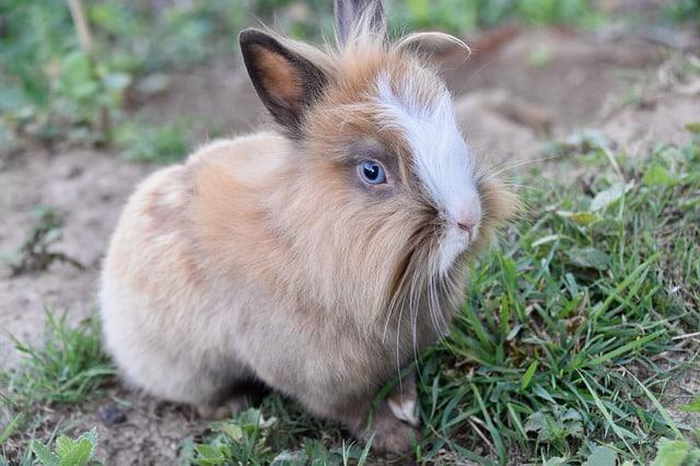ataques de estornudos en conejos