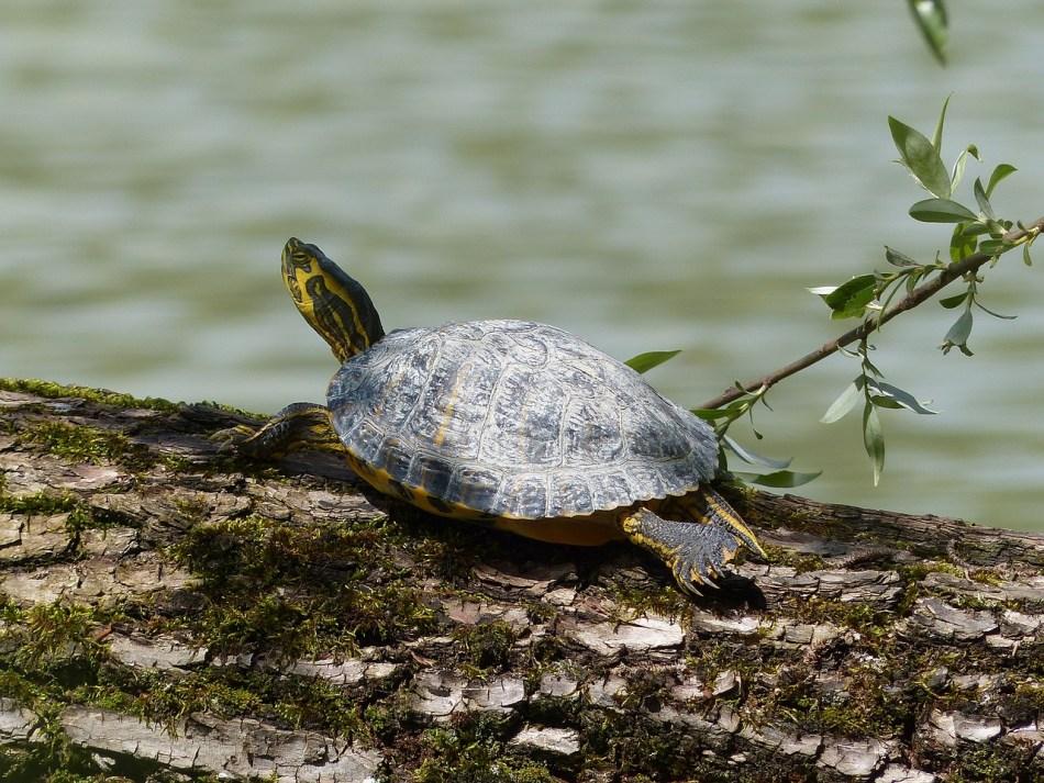 Las tortugas se pueden ahogar