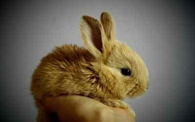 Los conejos son roedores