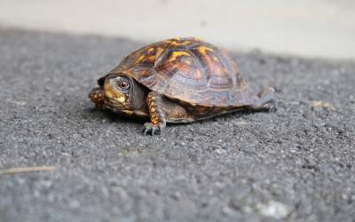 Las tortugas son reptiles