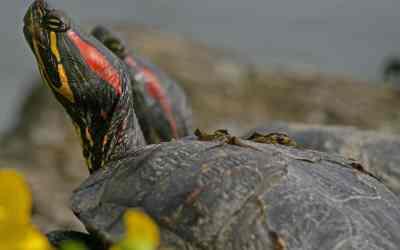 Qué comen las tortugas de orejas rojas