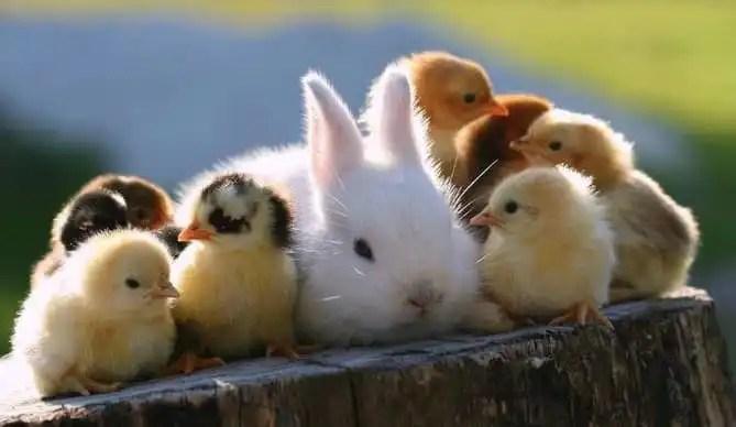 conejos y gallinas