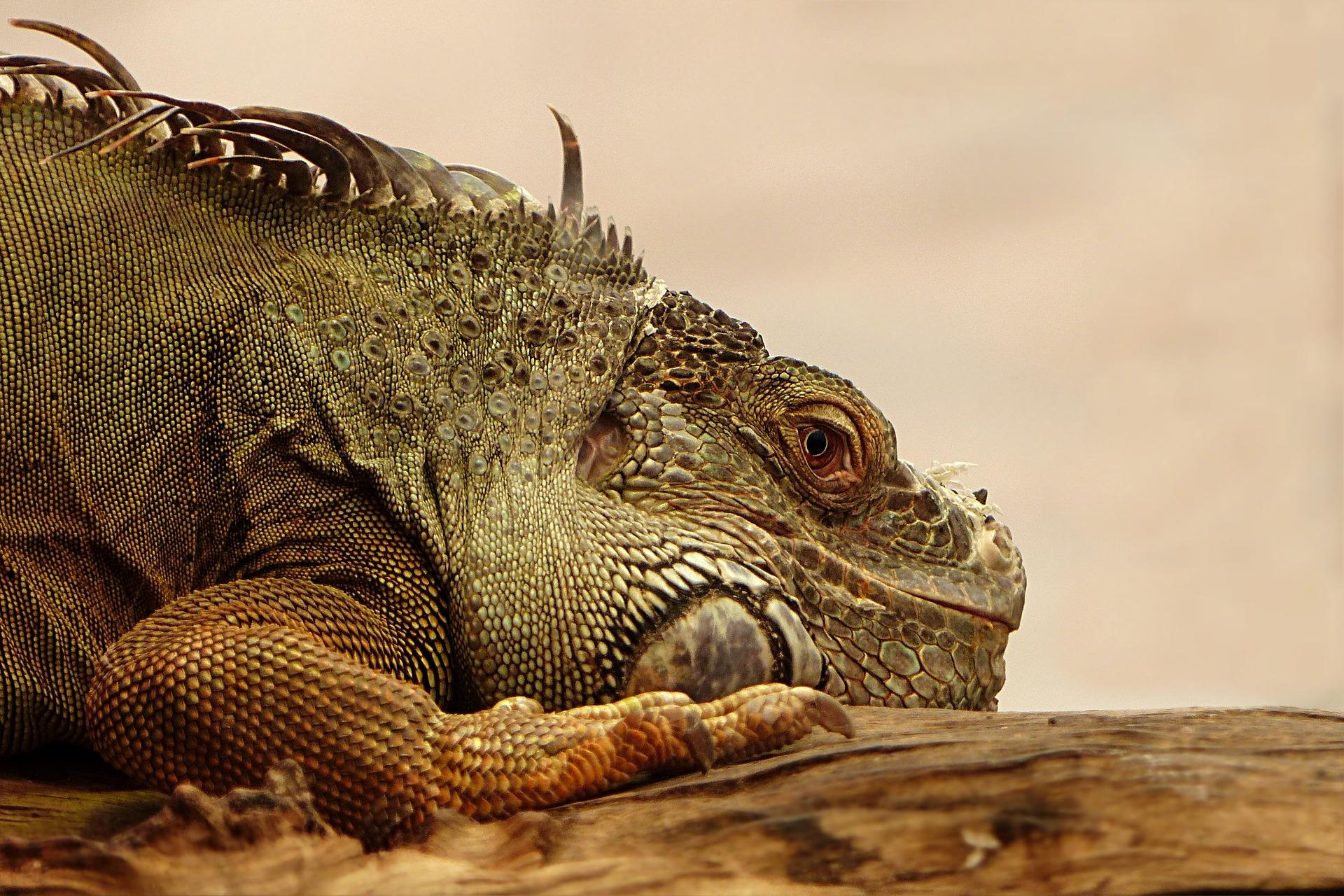 cómo saber si mi iguana esta enferma